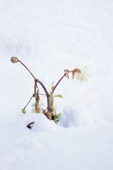 (.) Tags: winter plants snow japan     natreu