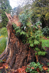 New From Old (dennoit) Tags: park canada tree vancouver britishcolumbia stanley stanleypark