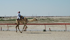 doha camel race (32) (Parto Domani) Tags: animal animals race radio robot corse arabic east camel arab oriente practice middle peninsula medio animali animale  doha qatar corsa arabica cammello  arabo penisola dromedario araber     cammelli  dromedari