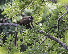 Common Brown Lemur - Mayotte (Ken Behrens) Tags: africa france nature islands wildlife birding indianocean naturalhistory comoros mayotte endemism indianoceanislands endemics tropicalbirding kenbehrens lescomores