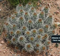 Echinocereus triglochidiatus (claret-cup cactus) 2 (James St. John) Tags: cactus cup claret echinocereus triglochidiatus