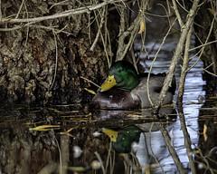 Mallard Cove (lennycarl08) Tags: mallard duck sacramentonwr