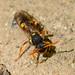 Wildbiene bee 150429 325.jpg