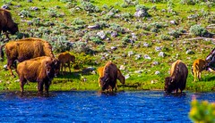 Bison herd at Yellowstone National Park (Mangospoops) Tags: herd water bison nature animals roadteip park national yellowstone parks roadtrip wanderlust travel camping camp sky green landscape life love america roadtrippin serene