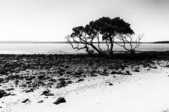 Life on the rocks (Ⅾorothy) Tags: sea water trees monochrome blackandwhite coochiemudlo sc916