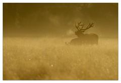 Red Deer Dawn Chorus (cheffievrs) Tags: 1dxmarkii 600mmf4lis antlers autumn bellowing borderfx breathe canon cervuselaphus fight nature reddeer rutseason ruttingseason stag sunrise wildfree