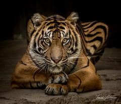 20160926-_84A1279 (ToddLahman) Tags: joanne sumatrantiger sandiegozoosafaripark safaripark canon7dmkii canon canon100400 tigers tiger tigertrail escondido portrait closeup