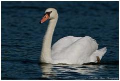 Mute Swan  (Rodolfo Quinio) Tags: muteswan nikond500 capemaypointstatepark capemaycountynj swan waterbird waterfowl aquaticbird nature wildlife