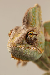 Close Up (Tammy984) Tags: reptile chameleon pets photography studio scales eyes colourful colour