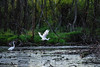 Watching The Beauty of Flight (smfmi) Tags: poseyvillewetlands egret greategret bird birds egrets greategrets michigan pentax ks2 pentaxks2 frohm