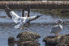 American White Pelican (Pelecanus erythrorhynchus) 4 092216 (evimeyer) Tags: americanwhitepelican pelecanuserythrorhynchos bolsachica wildlifephotography