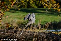yoga crane (jocassidy121) Tags: silly water fall shawneemissionlake nikon birds crane green