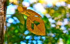 Lost in Transition (Dee Gee fifteen) Tags: hbw bokeh leaves sadface eyes colorful tree detail veins 7dwf autumn