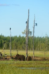 Les Oursons (Bn Lefort) Tags: bear ours finlande finland finlandia sauvage wild