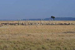10078087 (wolfgangkaehler) Tags: 2016africa african eastafrica eastafrican kenya kenyan masaimara masaimarakenya masaimaranationalreserve wildlife grassland grasslands migration migrating antelope antelopes gnu wildebeestmigration wildebeest wildebeestherd wildebeests zebras plainszebrasequusquagga burchellszebra burchellszebraequusquagga burchellszebras