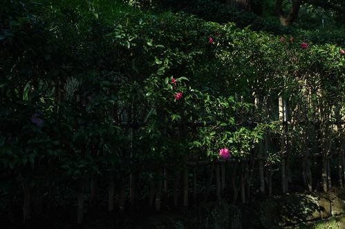 Camellia sasanqua  サザンカ