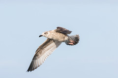 herring gull #1 (scilly puffin) Tags: larus gull islesofscilly