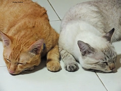 Ginger and Sia..... (Jinky Dabon) Tags: fujifilmfinepixhs35exr siamesecats pets cats kittens mammals pet gingercat ginger