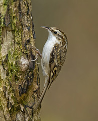 Treecreeper (oddie25) Tags: canon 1dx 600mmf4ii treecreeper bird wildlife nature winter parcslip wales