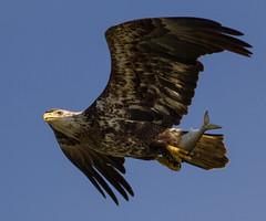 IMG_6264 Bald Eagle with prey (cmsheehyjr) Tags: cmsheehy colemansheehy bird eagle baldeagle nature wildlife rappahannock haliaeetusleucocephalus