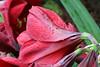 63-247-zweite%2520Serie%2520102-001 (hemingwayfoto) Tags: amaryllis blã¼te blã¼tenblatt blã¼tenstaub blã¼tenstempel blume blumen blumenhandel blumenzucht bunt flora gã¤rtner macroaufnahme natur pflanze rot topfblume topfpflanze zucht zwiebelblume zwiebelpflanze