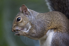 Eastern Gray Squirrel (DFChurch) Tags: eastern gray squirrel nature animal wild wildlife florida