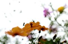 Joy of autumn_7DWF Flora (keiko*has) Tags: cosmos yellow joyful autumn bokeh whitebackground
