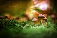 """From Out Of Nowhere"" (Joe Effendi (Always Late!)) Tags: effendi fuji fujifilm fujifilmxe1 xe1 color colour nature outdoor flora mushroom fungi kiron105mmf28 macro closeup vintagelens manuallens dof depthoffield bokeh fall autumn 2016 105mm"