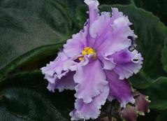 13-IMG_4731 (hemingwayfoto) Tags: berggartenhannover blhen blte blume flora floristik macro natur topfpflanze usambara usambaraveilchenlouisianalullaby veilchen zierpflanze zuchtform