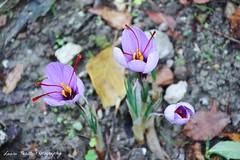 saffran (latositti) Tags: latositti ortobotanico bologna botanicalgarden fall autunno