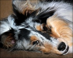 simply adorable (SylvieD.) Tags: chien shetland sheltie dog