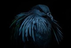 Moody Bird (Brandon_Hilder) Tags: explore award best explored exploreaward bird birds avian nikon 105mm macro nikon105mmmacro nikon105 nikon105mm d810 nikond810 public