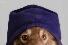 11/12/B tasku - in da hood (sure2talk) Tags: tasku finnishlapphund indahood hoodie purple eyes nikond7000 nikkor50mmf14gafs flash speedlight sb900 offcamera bounced diffused softbox 12monthsfordogs 12monthsfordogs16 1112b