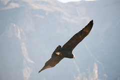 Andean condor at Colca Canyon, PERU (Lin.y.c) Tags: colcacanyon peru travel 2015 201506 southamerica eagle bird mountain valley canyon nature