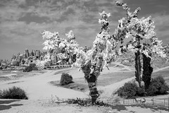 Tree, Capadocia Turkey (mafate69) Tags: asia asie midleeast moyenorient turkey turquie tree arbre art landscape paysage nb noiretblanc blackandwhyte bw street streetshot streetlevelphoto mafate69 rue reportage documentaire documentary photojournalisme photoreportage photojournalism