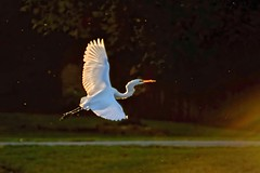 Against the Light (brev99) Tags: topazdetail topazdenoise flare nikviveza egret bird birdinflight bif tamron70300vc d7100 highqualityanimals ngc
