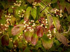 Red Osier Dogwood (hickamorehackamore) Tags: 2016 cornelllabofornithology cornus dogwood ithaca ny nystate newyork newyorkstate sapsuckerpond september berries