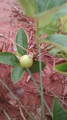gabiroba (ivanalves1962) Tags: gabiroba fruits cerrado frutasdocerradomineiro guabiroba