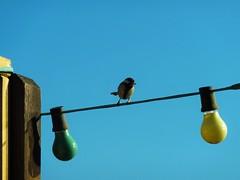 Vogel auf Gartenbeleuchtung (VascoDaGamer) Tags: vogel beleuchtung partylampen lampion