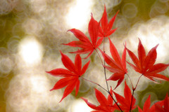 high-five!! (Tomo M) Tags: momiji japanesemaple   red redleaves autumn bokeh dof trioplan100mmf28 bubblebokeh tokyo canon