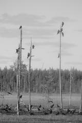 Fin du monde (Bn Lefort) Tags: blackandwhite noiretblanc corbeaux finlande finlandia