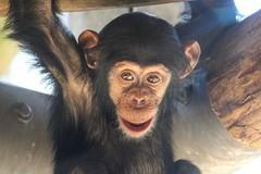 09-09-2016-taronga 051 (tdierikx) Tags: 09092016taronga tarongazoo taronga tdierikx chimpanzee fumo