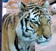 Amur tiger 4 (auntiepauline) Tags: philadelphiazoo amurtiger