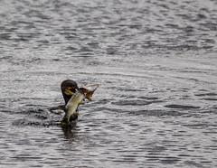IMG_0383 (1a) (Alinbidford) Tags: alancurtis alinbidford brandonmarsh cormorant