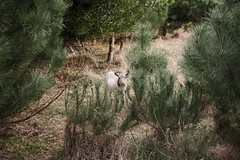 Hidden (anacsardo) Tags: goat nature fall animal trees green field country bucolic nikon d5100