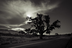Lone Oak with Cirrus Clouds Toned (james.fowler15) Tags: california oaks trees cirrus clouds