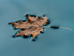 Surface Tension (Karen_Chappell) Tags: leaf blue brown autumn fall nature macro floating pond water park newfoundland nfld bowringpark surfacetension