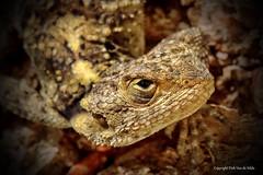 Born free (and living) (DirkVandeVelde back) Tags: europa europ europe griekenland greece rhodos rodos reptile reptiel hagedis lizard sony fauna focus outdoor buiten animalia animal
