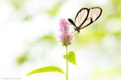 Glass wing... (Glenn van Windt) Tags: gretaoto lepidopterarhopalocera butterfly vlinder tropicalbutterfly butterflygarden vlindertuin artiszoo insect glasswingedbutterfly glasvleugelvlinder sigma180mm128apomacrodghsm flower bloem celosiaargentea closeup macro