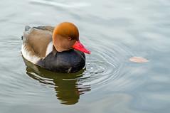 Red-Crested Pochard - Kolbenente (FotoMarc64) Tags: enten ente duck zoo karlsruhe sonyalpha sony sonyalpha57